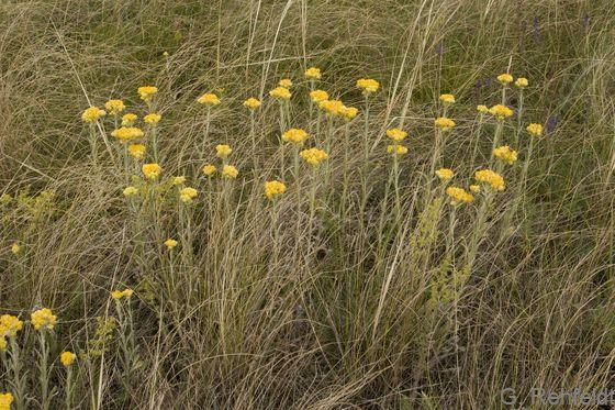 Helichrysum arenarium - Sand-Strohblume (RSR)