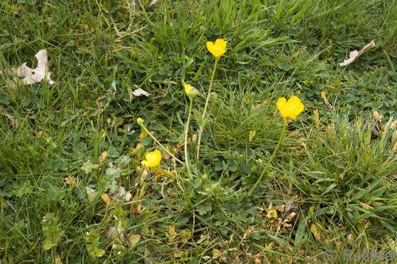 Ranunculus bulbosus - Knolliger Hahnenfuß (RSR)