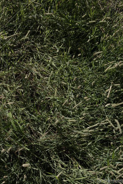 Koeleria macrantha - Zierliches Schillergras (RSRk)