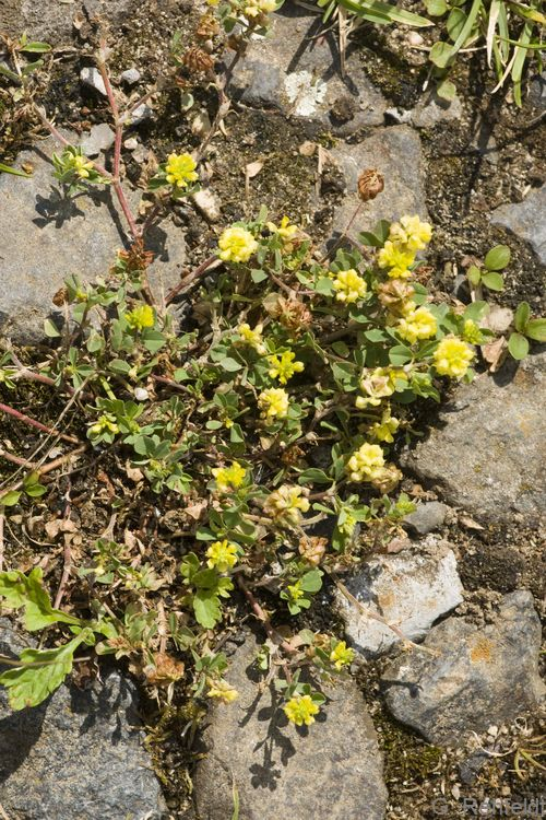 Trifolium campestre - Feld-Klee (RSF)