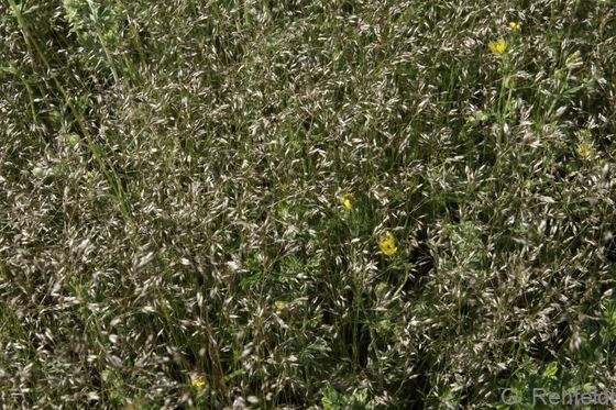 Aira caryophyllea - Nelken-Haferschmiele (RSZ)