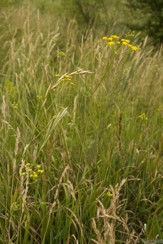 Bupleurum falcatum - Sichelblättriges Hasenohr (RHS)