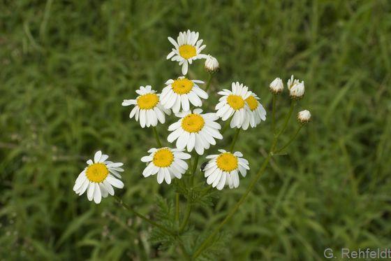 Tanacetum corymbosum - Straußblütige Wucherblume (RHS)