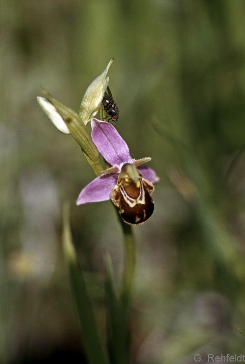 Ophrys apifera - Bienen-Ragwurz