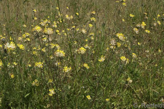 Anthyllis vulneraria - Wundklee (RHT)