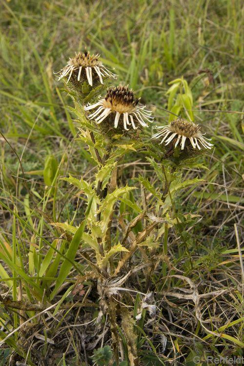Carlina vulgaris - Golddistel (RHT)