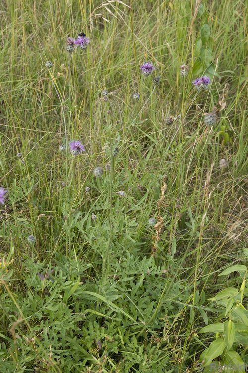 Centaurea scabiosa - Skabiosen-Flockenblume (RHT)