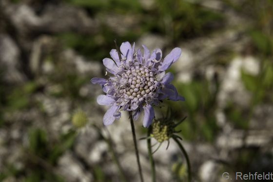 Scabiosa columbaria - Tauben-Skabiose (RHT)