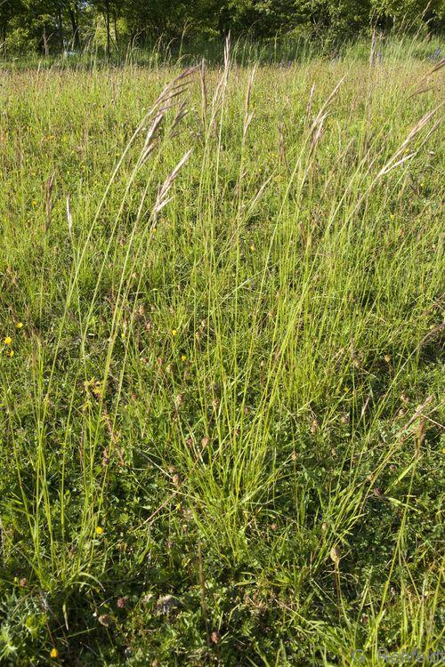 Bromus erectus - Aufrechte Trespe (RHT)