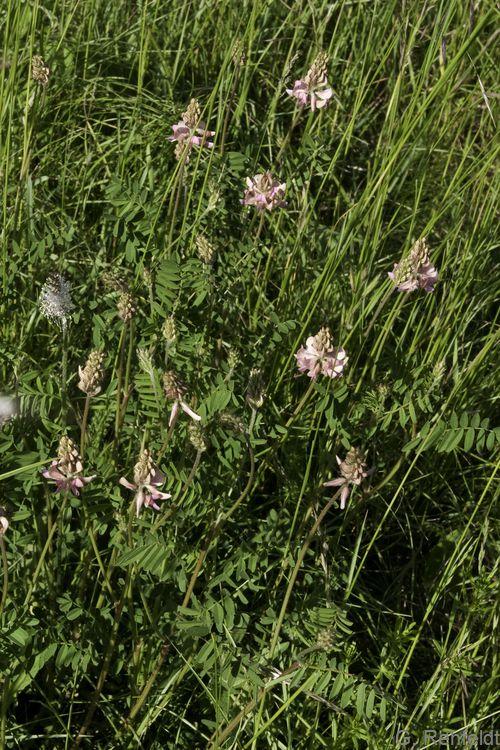 Onobrychis viciifolia - Saat-Esparsette (RHT)