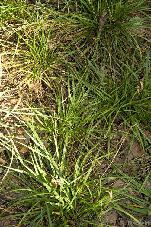 Carex ornithopoda - Vogelfuß-Segge (RHT)
