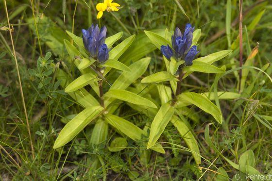 Gentiana cruciata - Kreuz-Enzian (RHT)