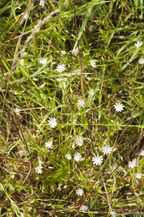 Stellaria graminea - Gras-Sternmiere (GMA)