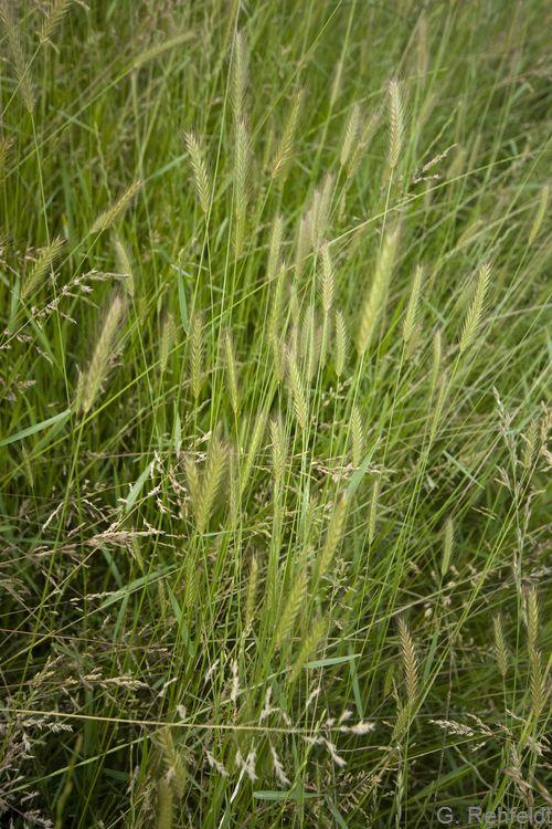 Hordeum secalinum - Wiesen-Gerste (GMM)