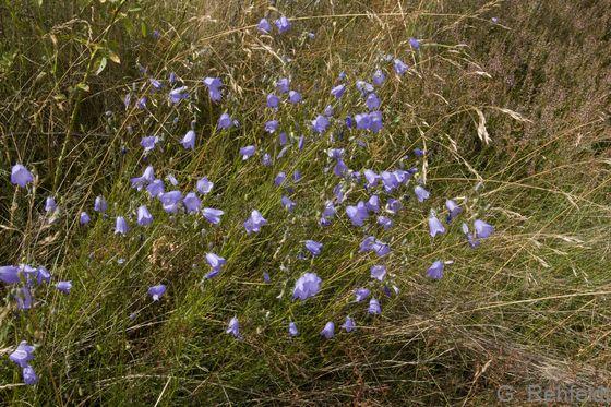 Campanula rotundifolia - Rundblättrige Glockenblume (GMA, GMK)
