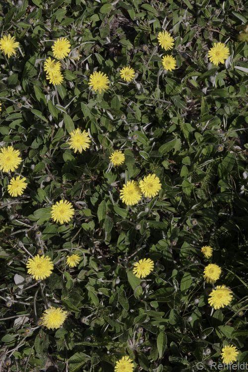 Hieracium pilosella - Kleines Habichtskraut (GMA, GMK)
