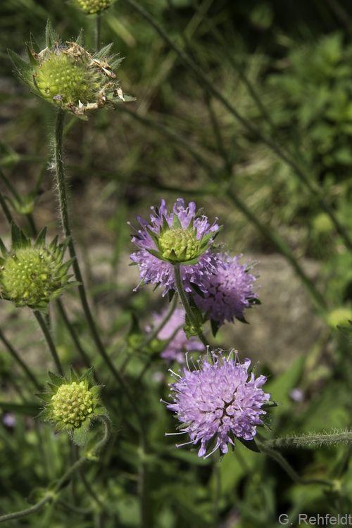Knautia arvensis - Acker-Witwenblume (GMA, GMK)