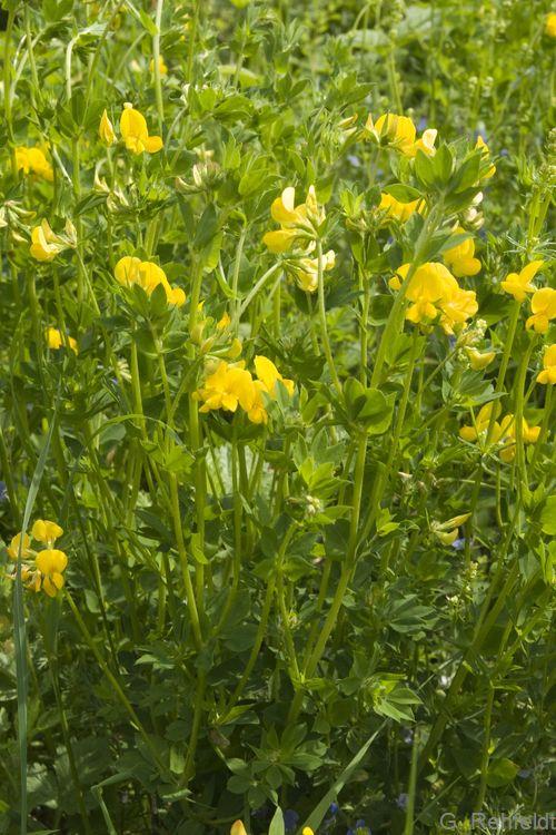 Lotus pedunculatus - Sumpf-Hornklee (GMF)