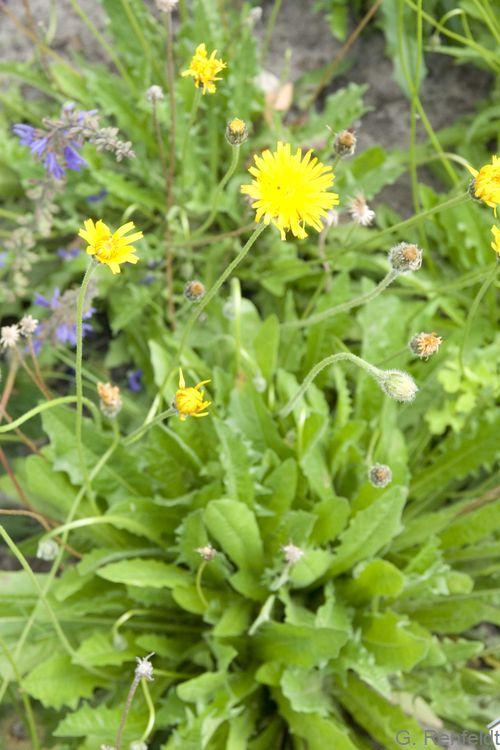Hypochoeris radicata - Gemeines Ferkelkraut (GMA)