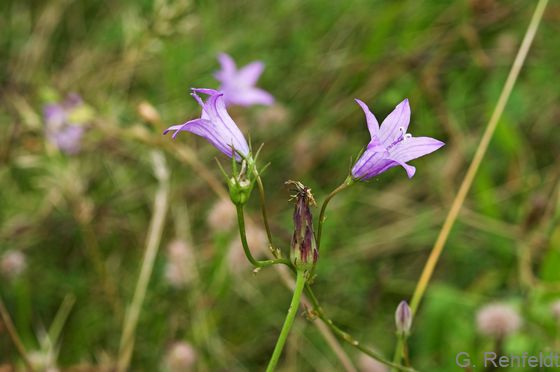 Campanula patula - Wiesen-Glockenblume