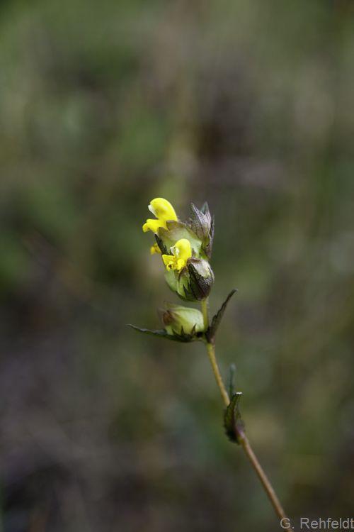 Rhinanthus minor - Kleiner Klappertopf (GMA, GMK)