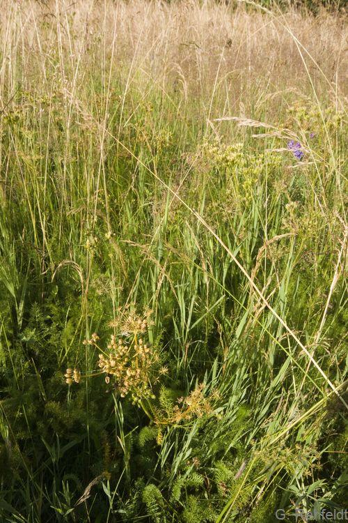 Centaurea pseudophrygia - Perücken-Flockenblume