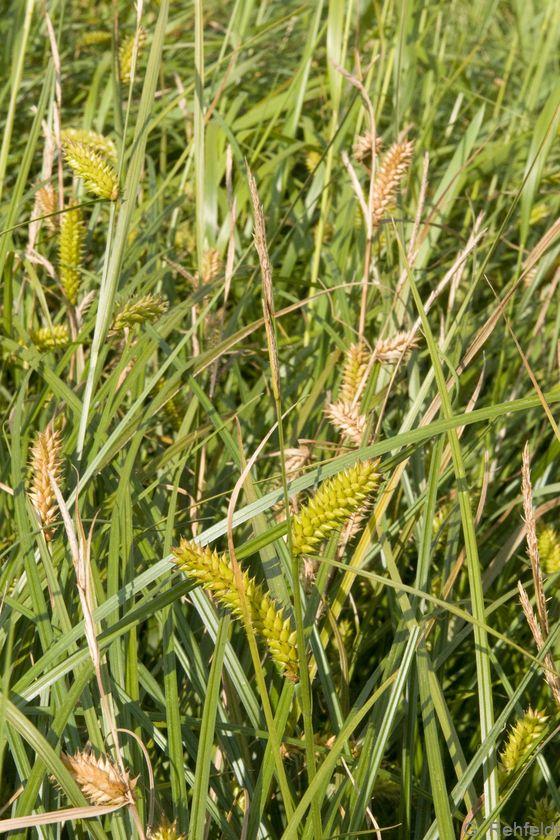 Carex vesicaria - Blasen-Segge
