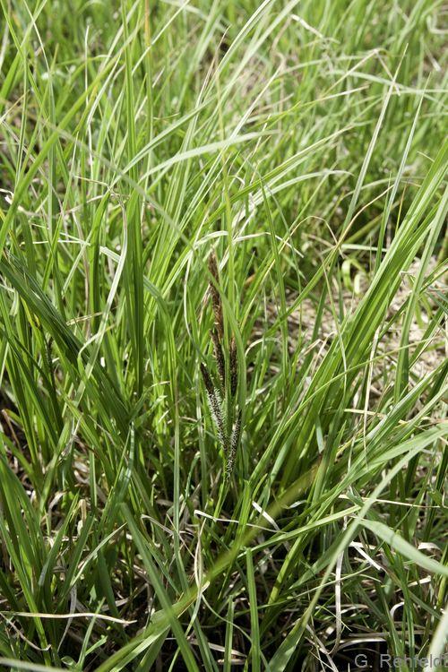 Carex aquatilis - Wasser-Segge