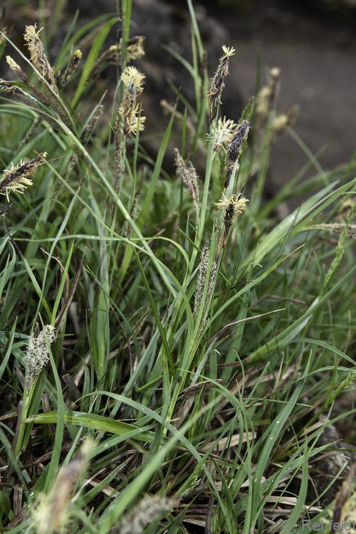 Carex flacca - Blaugrüne Segge