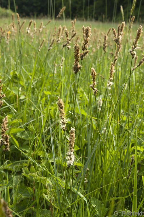 Carex disticha - Zweizeilige Segge