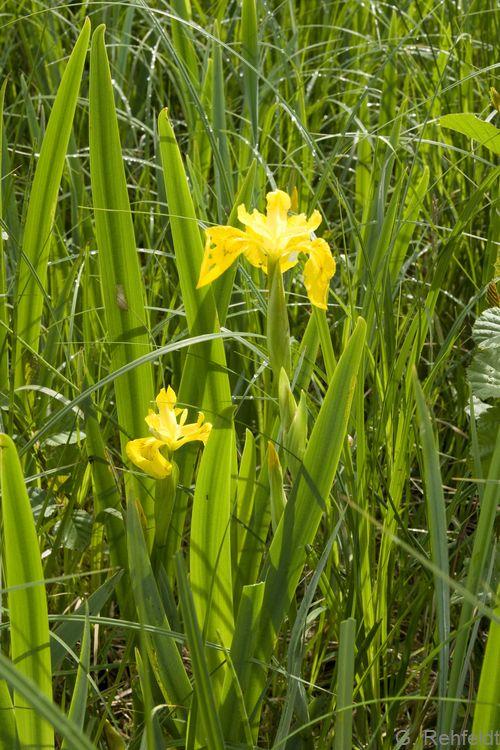 Iris pseudacorus - Sumpf-Schwertlilie