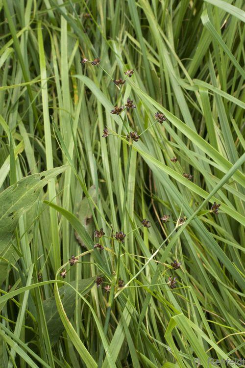Juncus articulatus - Gewöhnliche Glieder-Binse