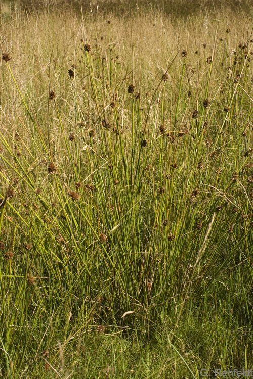 Juncus conglomeratus - Knäuel-Binse
