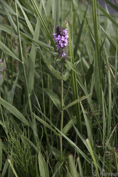 Stachys palustris - Sumpf-Ziest