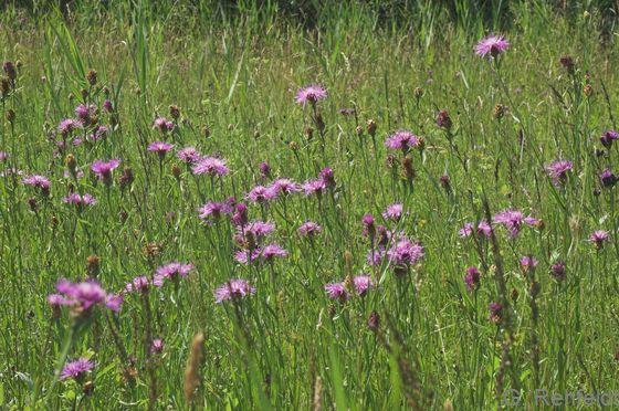 Serratula tinctoria - Färberscharte (GNK)