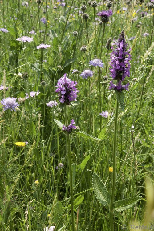 Betonica officinalis - Heil-Ziest (GNK)