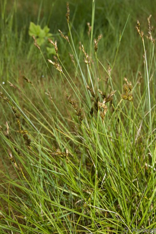 Carex ovalis - Hasenpfoten-Segge (GNW)
