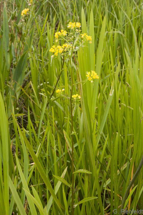Rorippa amphibia - Wasser-Sumpfkresse (GNF)