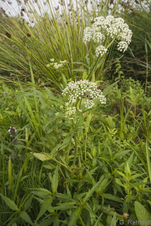 Sium latifolium - Breitblättriger Merk (GNF)