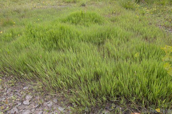 Agrostis stolonifera - Weißes Straußgras (GFF)