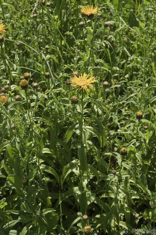 Inula salicina - Weidenblättriger Alant (GFP)