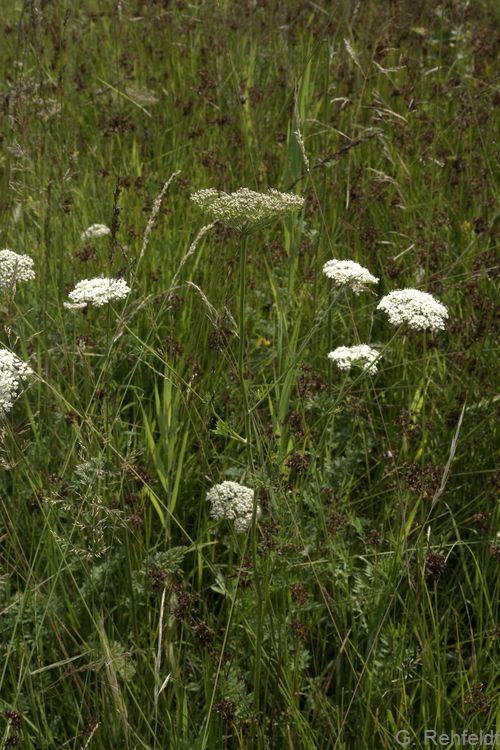 CSelinum carvifolia - Kümmelblättrige Silge (GFP)