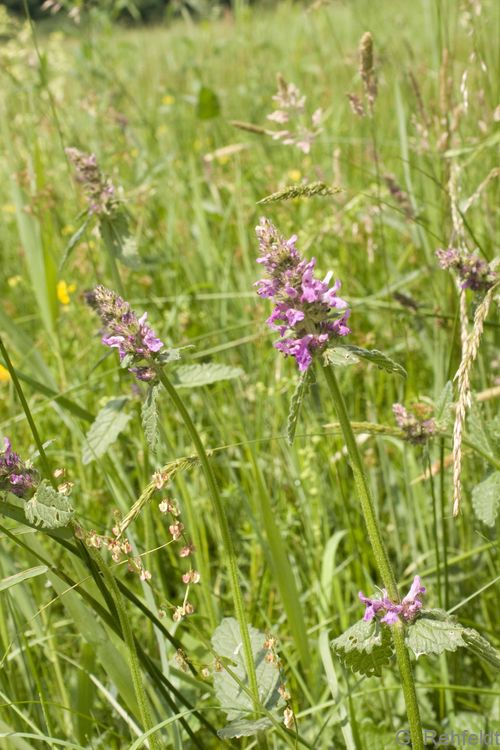 Betonica officinalis - Heil-Ziest (GFP)