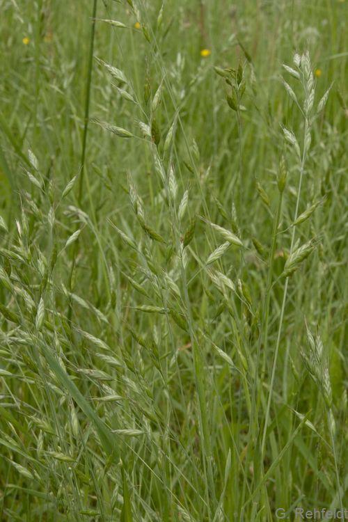 Bromus racemosus - Traubige Trepse (GFS)