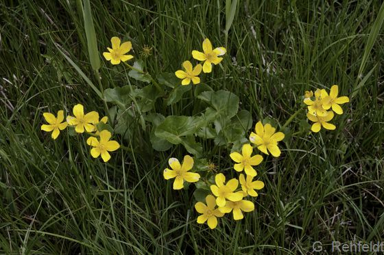 Caltha palustris - Sumpfdotterblume (GFS)