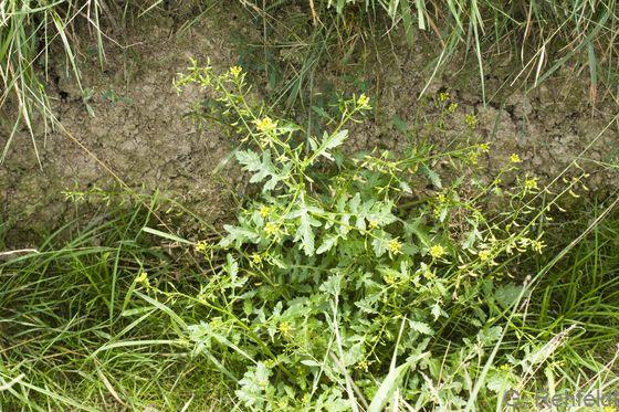 Rorippa palustris - Gewöhnliche Sumpfkresse (GFF)