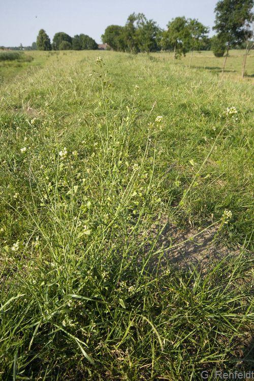 Capsella bursa-pastoris - Hirtentäschel