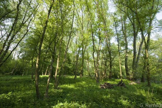 (Traubenkirschen-)Erlen- und Eschenwald der Talniederungen (WET, FFH 91E0), Schladen