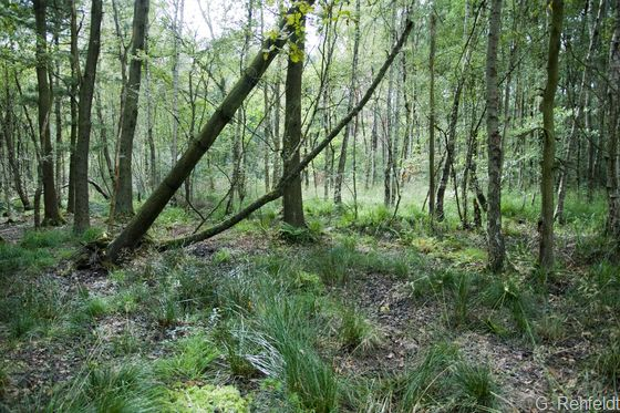 Erlen- und Birken-Erlen-Bruchwald nährstoffärmerer Standorte des Tieflandes (WAT), Braunschweig