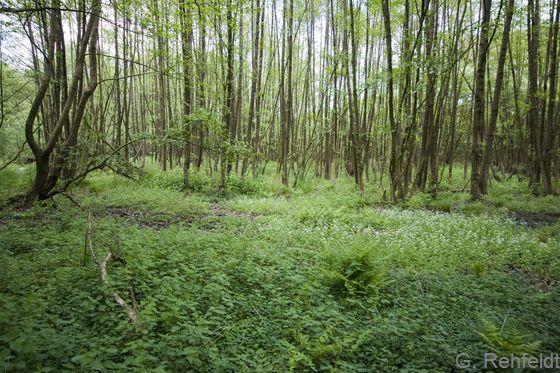 Erlen-Quellbruchwald nährstoffreicher Standorte (WARQ), Versen